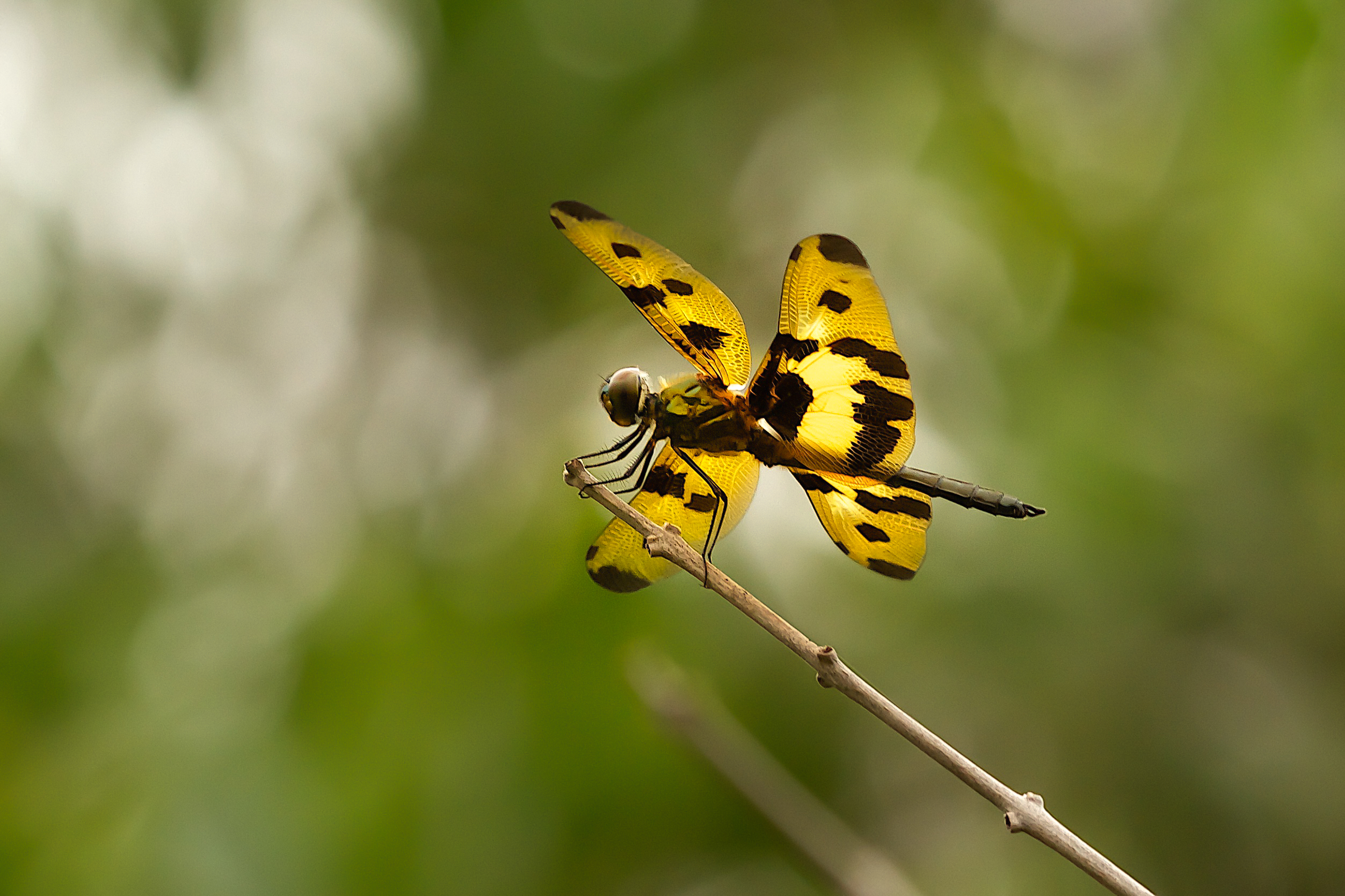 Variagated Flutterer