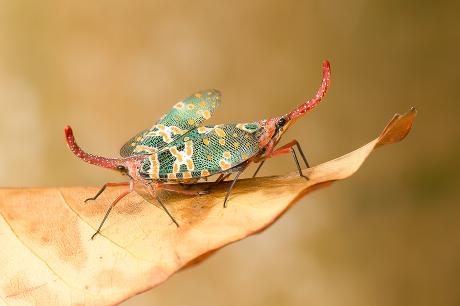 The Lantern Bug