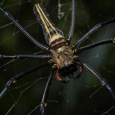 The Golden silk orb-Weaver Spider - Nephila pilipes
