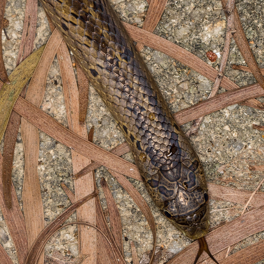 Taiwan Kukri Snake head