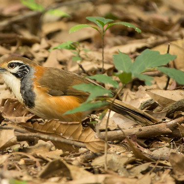 Greater Necklaced laughingthrush.jpg