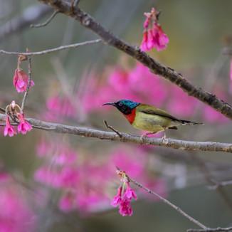 Fork tailed sunbird Kadoorie