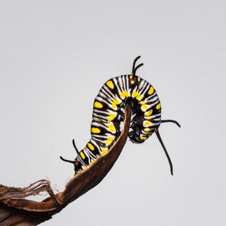 false tiger caterpillar