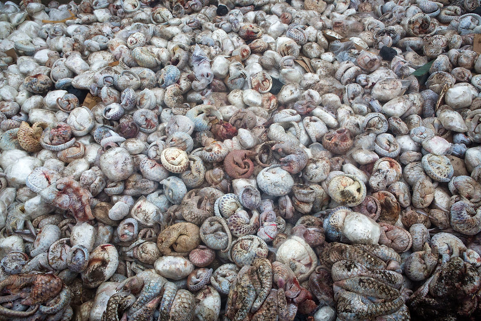 pangolin pit, illegal wildlife trade, pangolins, paul hilton