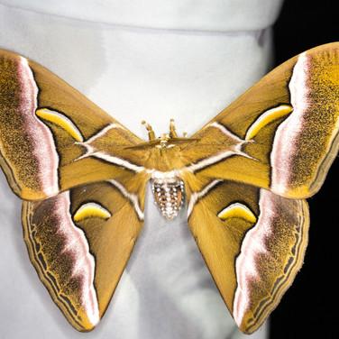 Atlas moth - Samia wangi