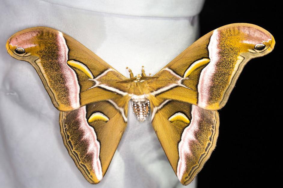 The Lesser Atlas moth
