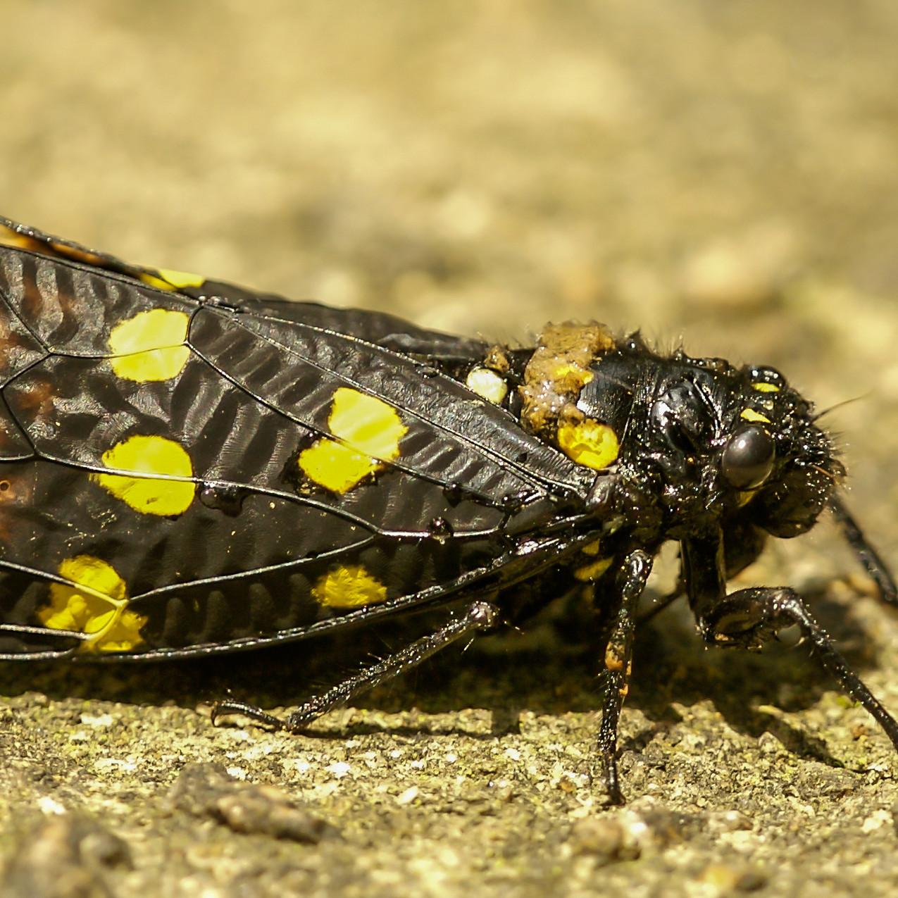 cicada22