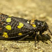 Blackspotted Cicada