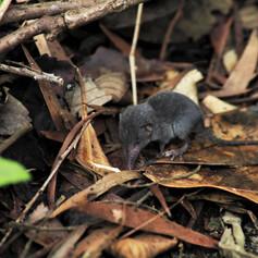 The Grey Shrew - Crocidura attenuata