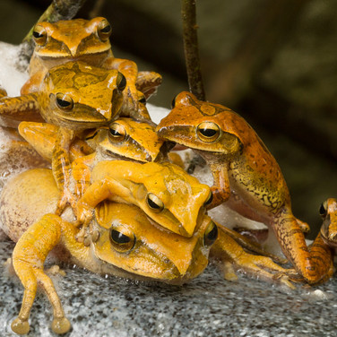 Brown Tree Frogs