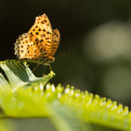 Male Indian Fritillary (Argynnis hyperbius )