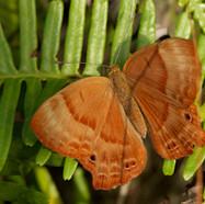 Plum Judy - Abisara echerius