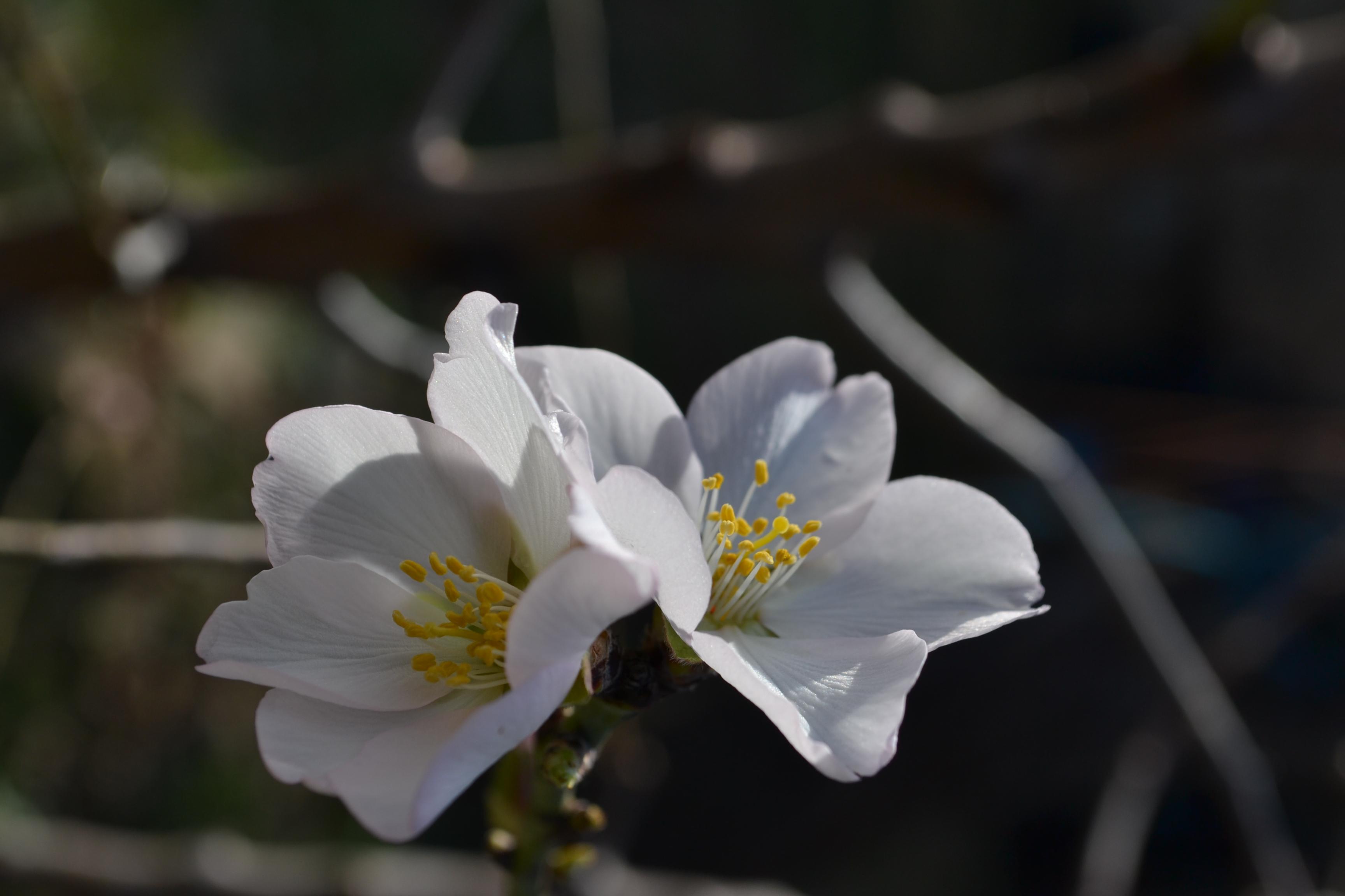 Floració ametller a Figueres