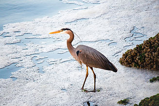 A heron walking on the shore