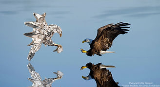 A pair of eagles, a silver Eagle Statue in fron of a bald eagle caching fish over a lake