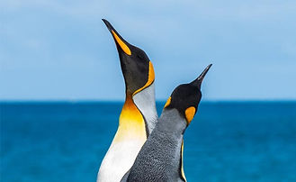 Royal Penguins, our inspiration for penguin statues