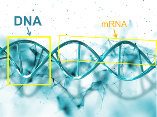 Playing with our mRNA