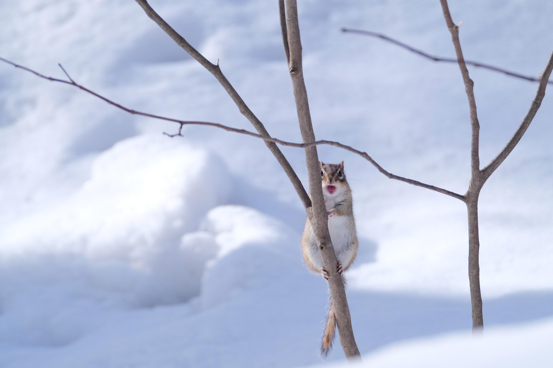冬眠明けのエゾシマリス