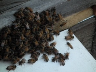 Spring Bees, spring honey