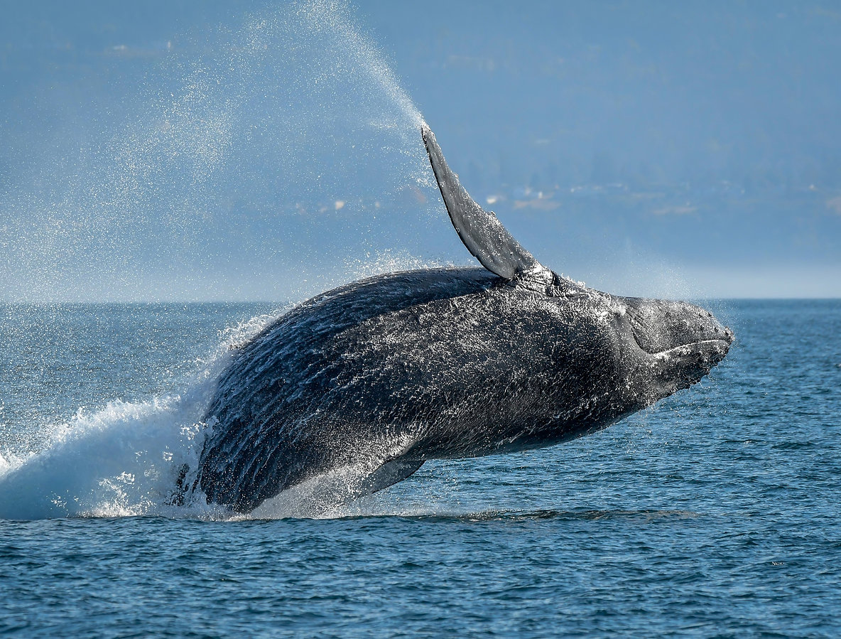 Breaching Humpback in Salish Sea - Brend
