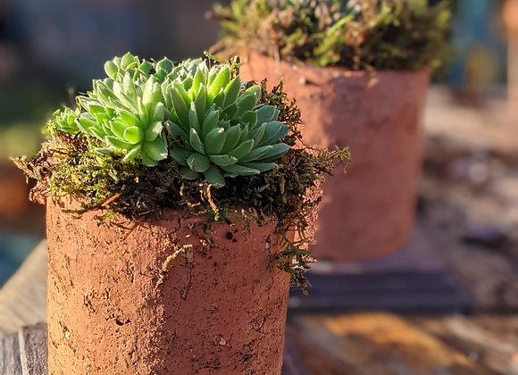 Terracota pipe planter- Sempervivum