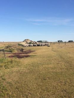 Ewes on mound 2018 -2