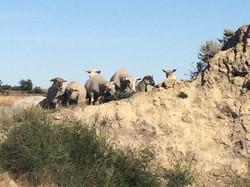 Ewes on mound 2018 - 3