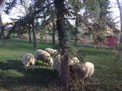 Rams in backyard.