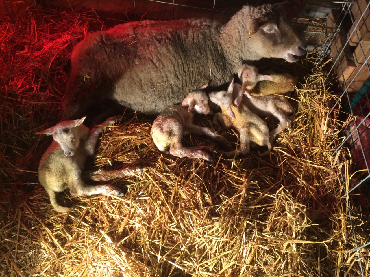 5 healthy lambs