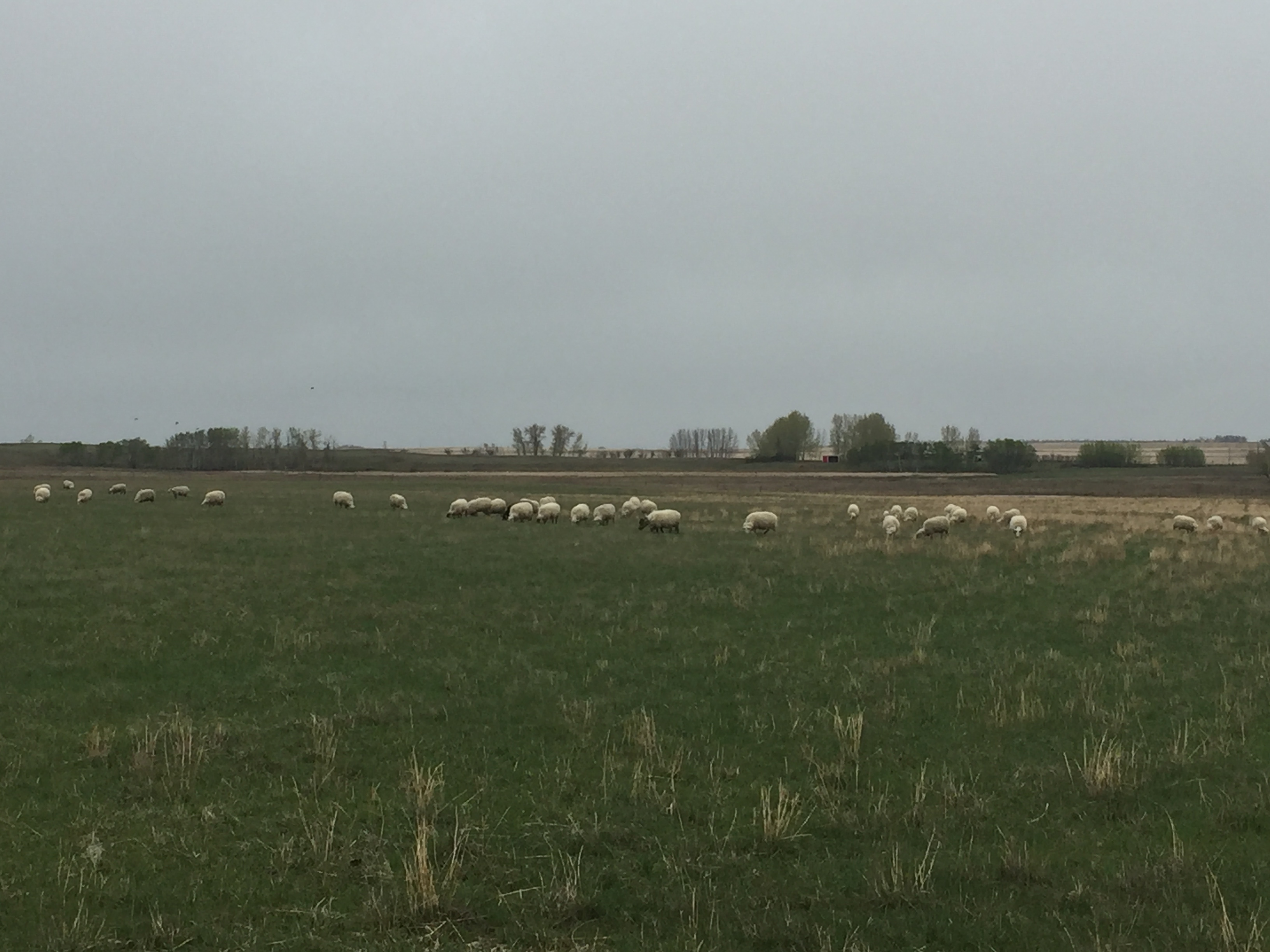 Ewes on pasture, 2018.