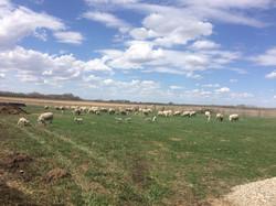 Ewes on pasture 2018 - 5