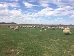 Ewes on pasture 2018 - 4