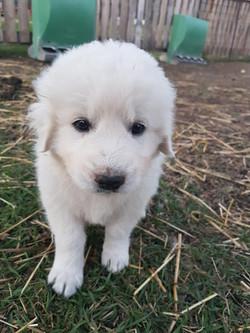 Bonnie (Guardian Dog) as a puppy.