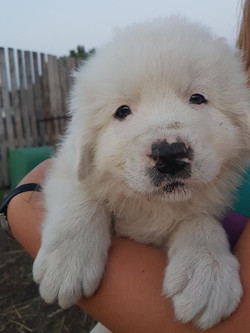 Clyde (Guardian Dog) as a puppy.
