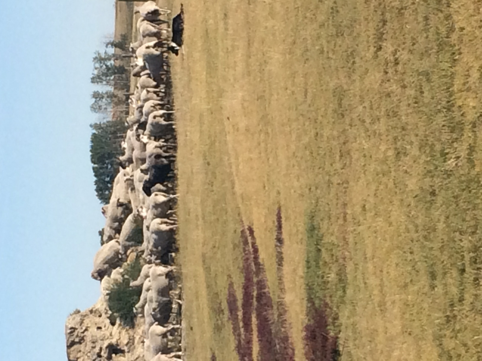 Ewes on mound 2018 - 1