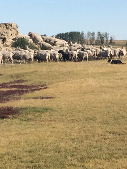 Ewes on mound 2018 - 1