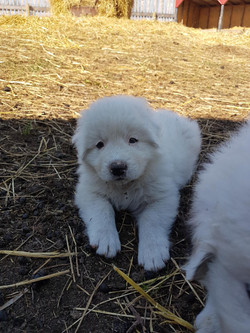 Clyde (Guardian Dog) as a puppy - 2
