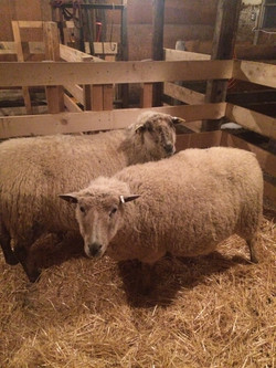 Ewes in large jug.