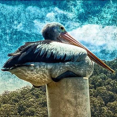 Pelican Sqwat by Drift n Tides Australian Art