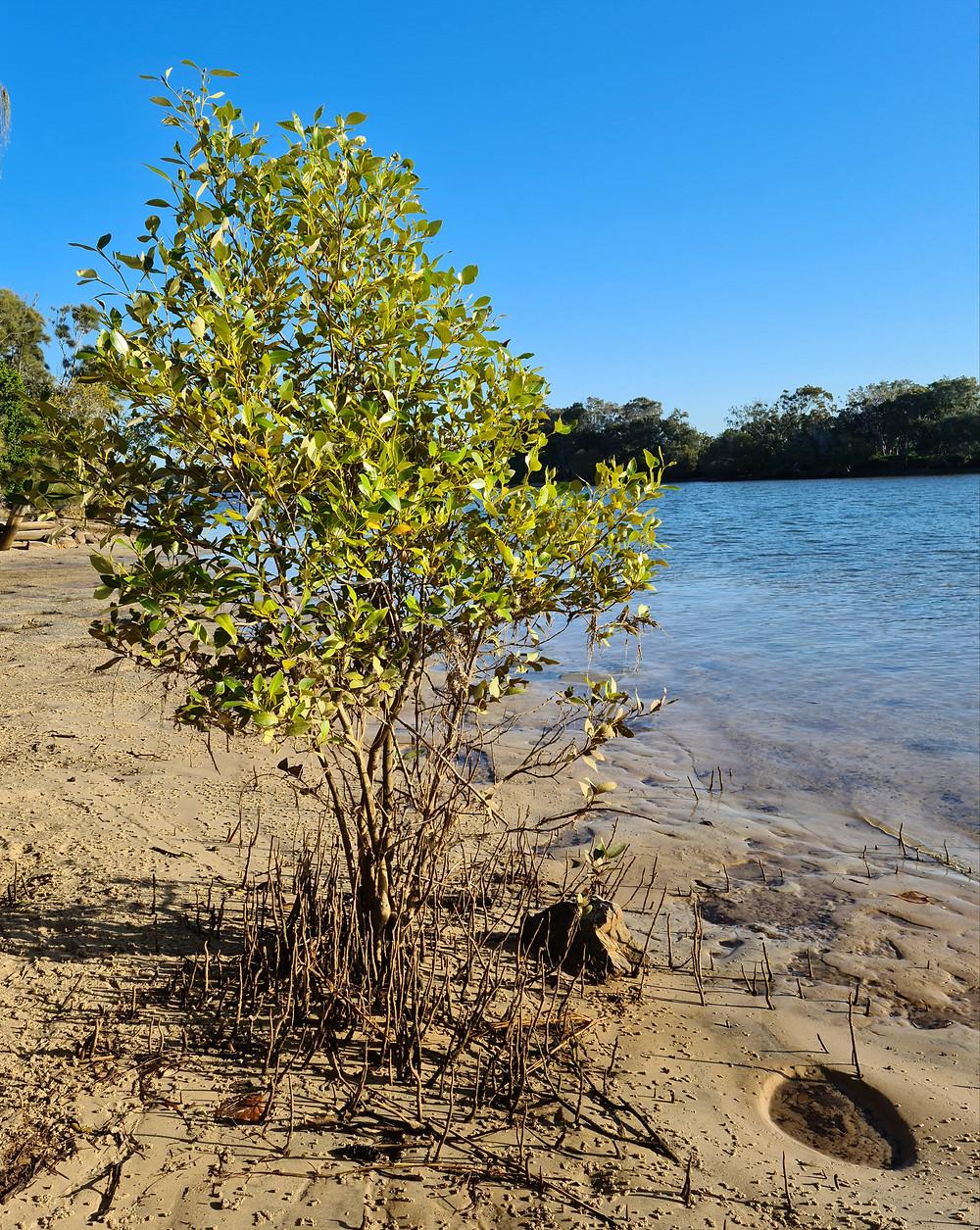 Mangrove next to river estuary with potholes of mud
