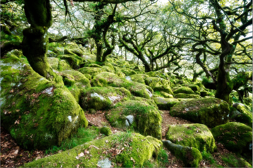Wistmans Wood david gamm focal form tree trees wood rock moss boulder