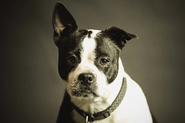 formation chien catégorisé / charente Maritime / permis de détention / Tonnay Boutonne / Rochefort / Saintes / La Rochelle