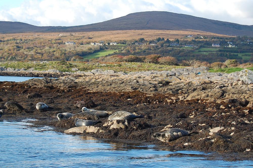 Common seals in Kenmare Bay, Co. Kerry