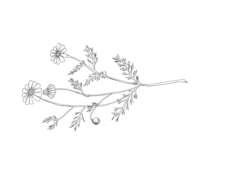 Dandelion png.png