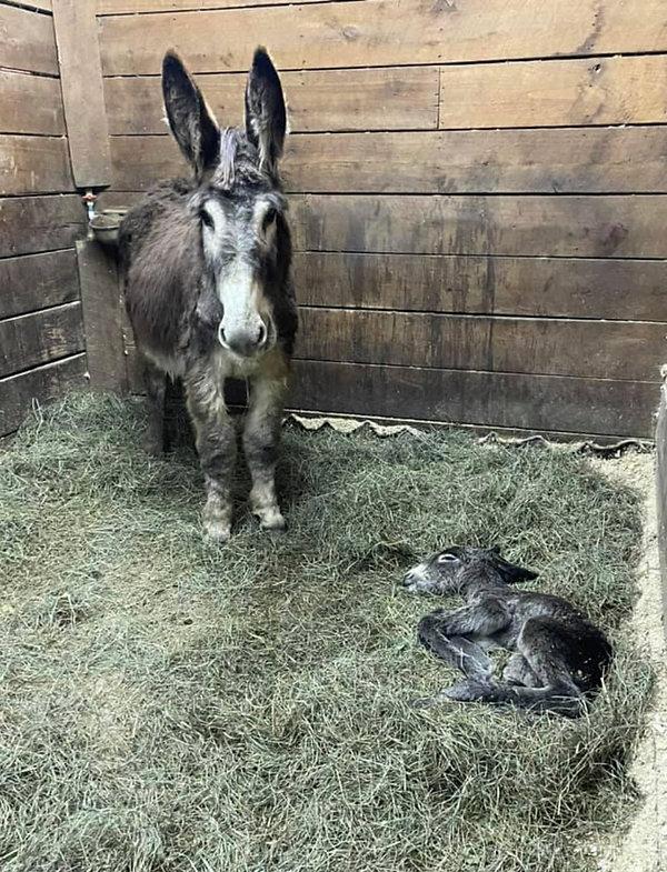 Baby_Donkey_Falls_Creek_Farm_2021.jpeg