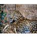 Let Your Leopard Show
