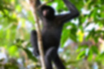 Spider Monkey in Tambopata
