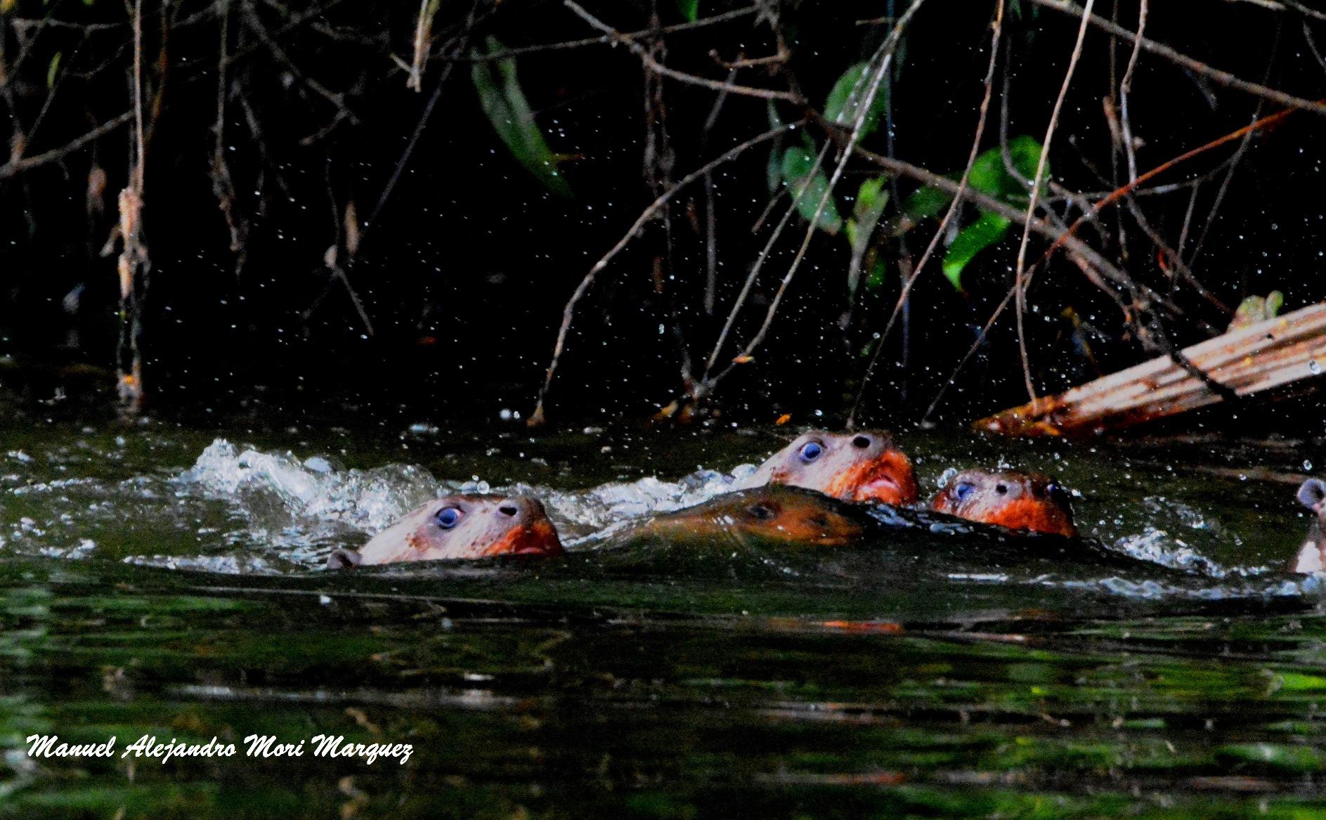 Uttrar i Tambopatareservatet
