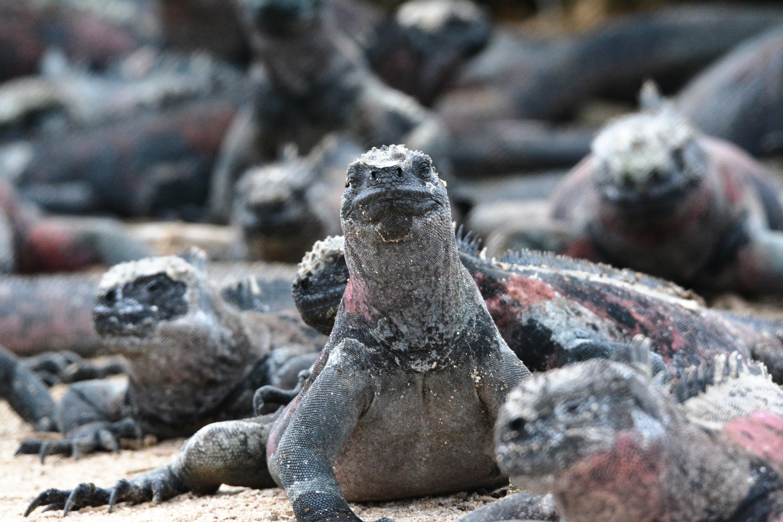 Marina iguanor, Galapagos