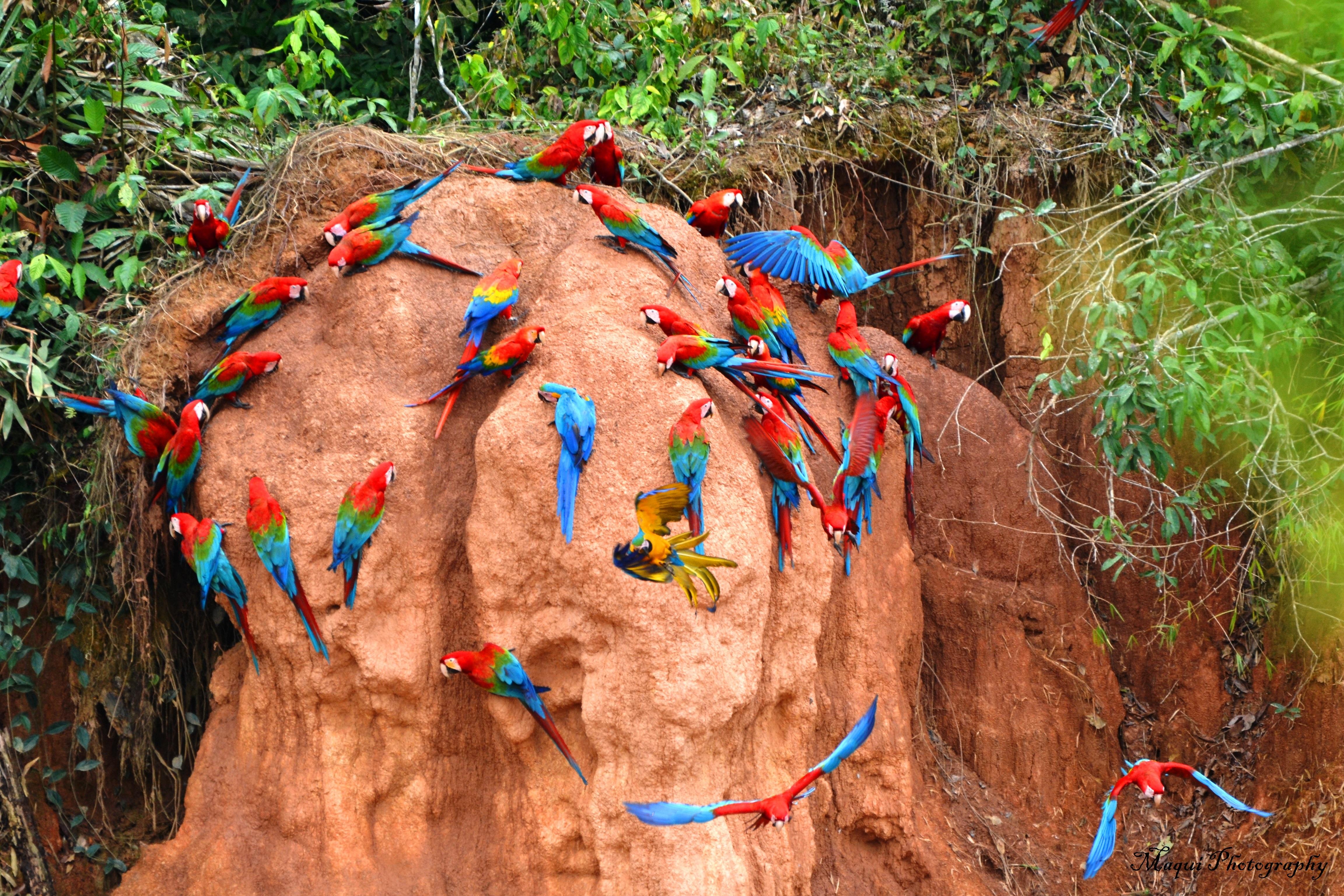Arapapegojor i Tambopatareservatet